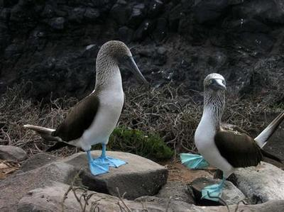 blue_footed_boobies_gallery__470x352.jpgのサムネール画像のサムネール画像